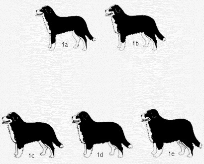 The drawings come from the Italian club's race SIBB (Societa' Italiana Bovaro Bernese). The author is Margret Bäertschi. The characteristics of the breed developed in partnership with Silvana Vogel Tedeschi