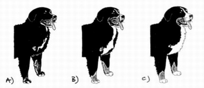 Drawings from the website of Italian club's race SIBB (Societa' Italiana Bovaro Bernese). The author is Margret Bäertschi. Characteristics of the breed developed in partnership Margret with Silvana Vogel Tedeschi