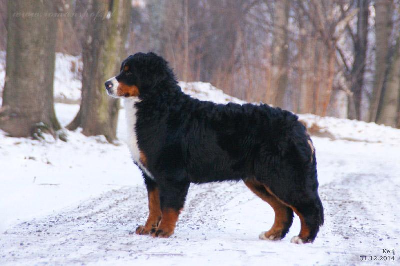 Berneński Pies Pasterski Hodowla Von Romanshof
